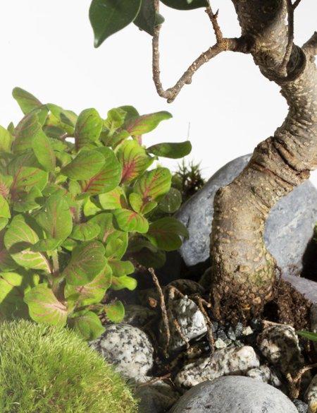 Green Factory Giant Lab - Ficus Retusa